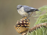 Pygmy Nuthatch (Sitta Pygmaea) Perched on a Branch  Oregon  USA
