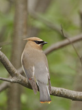Cedar Waxwing (Bombycilla Cedrorum) Perched on a Branch  Ontario  Canada