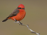 Vermillion Flycatcher (Pyrocephalus Rubinus) Perched on a Branch  Texas  USA