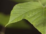 American Sycamore Leaf (Platanus Occidentalis)  USA
