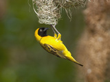 Lesser Masked-Weaver Male at the Nest (Ploceus Intermedius)  South Africa