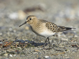 Baird's Sandpiper (Calidris Bairdii) Foraging Along the Shoreline in Victoria  British Columbia
