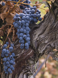 Merlot Grapes Ready for Harvest in the Applegate Valley  Oregon  USA