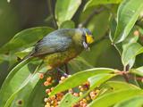 Olive-Backed Euphonia (Euphonia Gouldi)