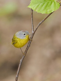 Nashville Warbler (Vermivora Ruficapilla) Perched on a Branch  Ontario Canada