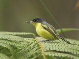 Common Tody-Flycatcher (Todirostrum Cinereum) Perched on a Leaf  Wildsumaco Reserve  Ecuador