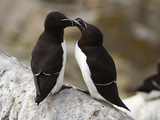 Common Murre (Uria Aalge)  Maine  USA