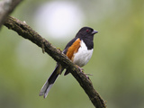 Eastern Towhee (Pipilo Erythrophthalmus)  Virginia  USA