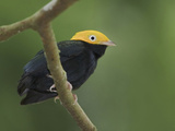 Golden-Headed Manakin (Pipra Erythrocephala) Perched on a Branch  Napo River in Amazonian Ecuador