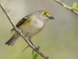 White-Eyed Vireo (Vireo Griseus)  South Texas  USA