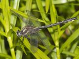 Male Beaverpond Clubtail Dragonfly (Gomphus Borealis)  Pennsylvania  USA