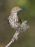 Long-Billed Thrasher (Toxostoma Longirostre) Perched on a Branch  South Texas  USA