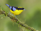 Blue-Winged Mountain-Tanager (Anisognathus Somptuosus) Perched on a Branch