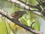 Ruddy Ground Dove  Costa Rica