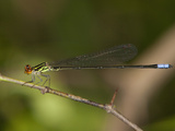Hagen's Sprite Damselfly Male Perched (Pseudagrion Hageni)  South Africa
