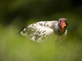 King Vulture  Costa Rica