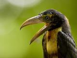 Collared Aracari (Pteroglossus Torquatus)  Costa Rica