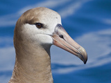 Black-Footed Albatross Head (Phoebastria Nigripes)  Washington  USA