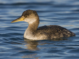 Red-Necked Grebe (Podiceps Grisegena) Swimming in the Ocean  Victoria  British Columbia  Canada