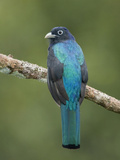 Amazonian White-Tailed Trogon (Trogon Viridis) Perched on a Branch Near the Napo River