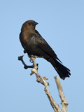Brown-Headed Cowbird (Molothrus Ater) Male  Texas  USA