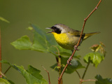 Male Common Yellowthroat (Geothlypis Trichas)