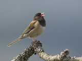 A Dark-Eyed Junco (Junco Hyemalis) Singing on a Branch in Victoria  British Columbia  Canada