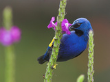 Shining Honeycreeper  Costa Rica