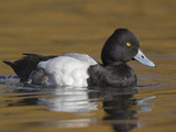 Lesser Scaup (Aythya Affinis) Swimming in a Lagoon in Victoria  British Columbia  Canada