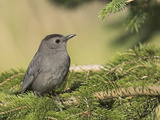 Gray Catbird (Dumetella Carolinensis) Perched on a Branch  Toronto  Ontario  Canada