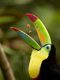 Keel-Billed Toucan Swallowing Pieces of Fruit in its Open Mouth (Ramphastos Sulfuratus)  Costa Rica