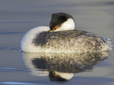 Western Grebe (Aechmophorus Occidentalis) Swimming in the Ocean  Victoria  British Columbia