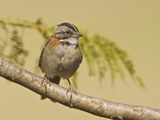 Rufous-Collared Sparrow (Zonotrichia Capensis) Perched on a Branch  Jerusalem Reserve
