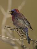 Varied Bunting (Passerina Versicolor) Singing  Big Bend National Park  Texas  USA