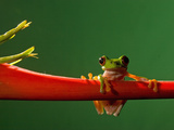 Parachuting Leaf Frog (Agalychnis Saltator)  Costa Rica