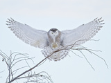 Snowy Owl (Bubo Scandiacus) Landing in a Tree and Hunting for Prey  Ontario  Canada