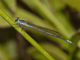 Sprite Damselfly Male Perched (Pseudagrion Kersteni)  South Africa
