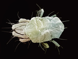 Spider Mite SEM X200