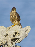 Merlin (Falco Columbarius)  Washington  USA