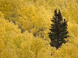 A Lone Conifer Tree in a Stand of Quaking Aspens in the Fall