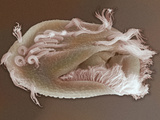 The Ciliate Protozoan Euplotes  SEM