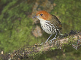 Chestnut-Crowned Antpitta (Grallaria Ruficapillas) Perched on a Branch  Papallacta Pass