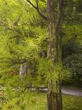 Umbrella Pine (Sciadopitys Verticillata)  Portland Japanese Garden  Oregon  USA