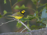 Hooded Warbler (Wilsonia Citrina) Perched on a Branch  Ontario  Canada