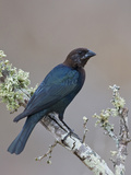 Brown-Headed Cowbird (Molothrus Ater) Perched on a Branch in South Texas  USA