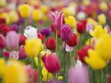 Tulip Flower Variety (Tulipa)