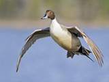 Northern Pintail (Anas Acuta) Flying  Victoria  BC  Canada