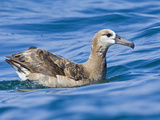 Black-Footed Albatross (Phoebastria Nigripes) Swimming on the Ocean Near Washington  USA