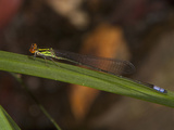 Male Sprite Damselfly (Pseudagrion Hageni)  South Africa