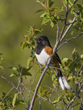 Eastern Towhee (Pipilo Erythrophthalmus) on a Branch in Ontario  Canada